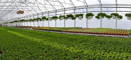 Iinterior view of the greenhouse of a market garden with young plants mainly begonias