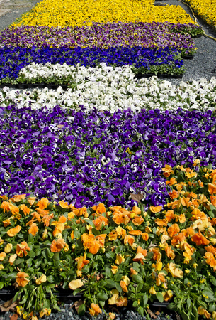 area with colorful pansies at a market garden