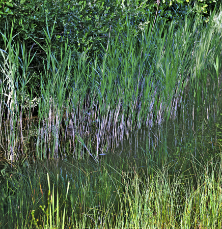 riparian vegetation of grasses in  the water of the lake Gissen, Sweden