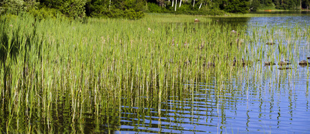 flat riparian zone vegetated by reed of the lake Gissen, Sweden