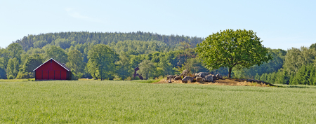landscape with oat field, barn and tree on a rock hill in the south of Sweden