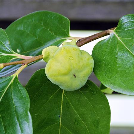 Twig of a kaki bush with unripe fruit