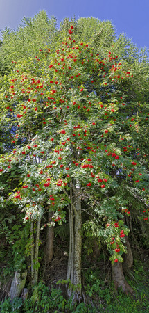 mountain ash tree with ripe red fruits before blue sky