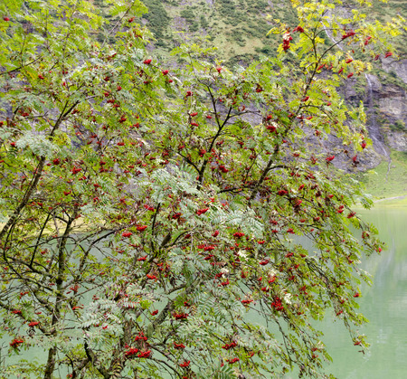 mountain ash bush with ripe red fruits above a green lake Stock Photo