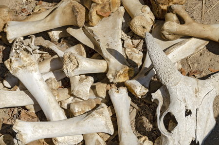 skeletonized bones of cattles laying on a heap in sunshine