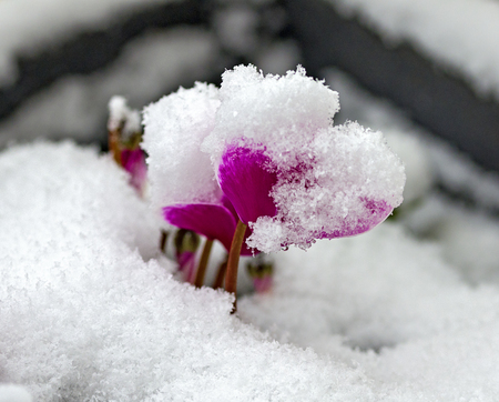 Fresh snow on a pink colored blossom of a cyclamen plant Stock Photo