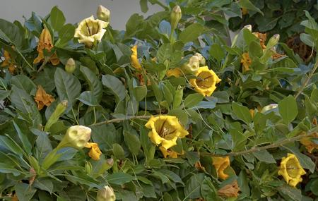 Flourishing shrub of a yellow angels trumpet (Brugmansia)