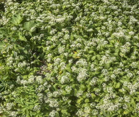 forest ground with flourishing wild garlic plants