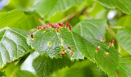red galls of gall midges on green leaves