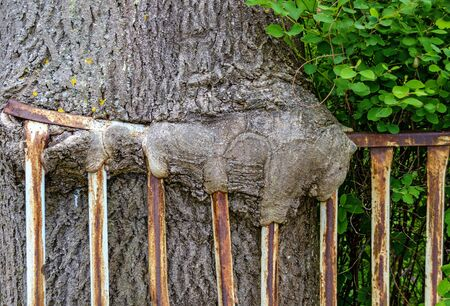 tree with ingrown rusty iron bars