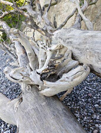 Washed ashore old tree at the beach near the cliffs near Sassnitz on Ruegen, Germany Stock fotó