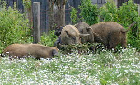 four duroc pigs feeding camomile in a flourishing field