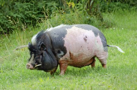 small fat black and pink boar with tusks on a green meadow