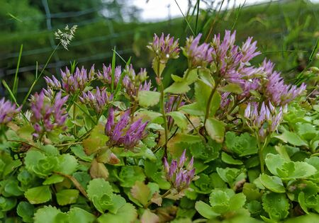lilac flowering Stonecrops from the genus Sedum plants