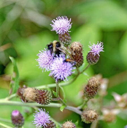 bumblebee sitting on a thistle with lilac blossoms 版權商用圖片