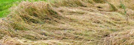 damage in a grain field with snapped stalks 版權商用圖片