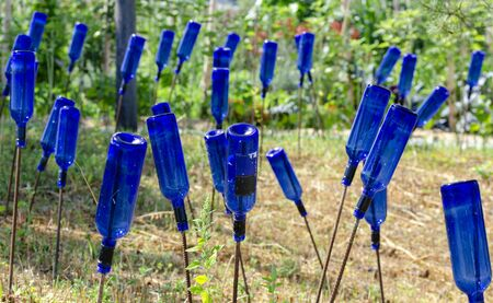 blue empty wine bottles on rods made of reinforcing steel pluged into the garden ground