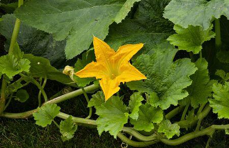 squash plant with big egg yolk yellow blossom