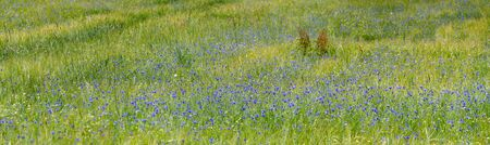 panoramic view of a grain field with many blue cornflowers in the region Waldviertel, Austria