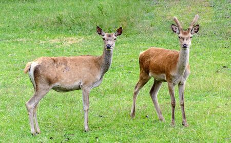 young roebuck with velvet antler and a doe standing on a green meadow looking to the observer