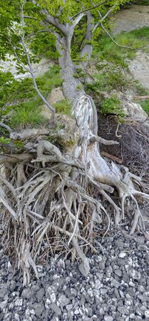 Tree with partly washed out roots on the beach on the island of Rugen on the Baltic sea, Germany