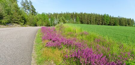 lush  flourishing lilac flowers at the edge of a road at Smaland, Sweden Stockfoto