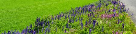 lush flourishing lupines on a meadow at the edge of a road, Sweden Stockfoto