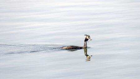 great crested grebe swimming with fish in the beak on the water, Sweden Reklamní fotografie