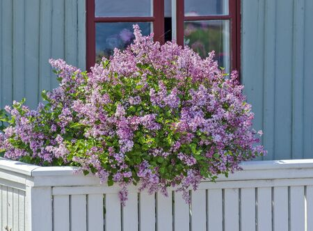 lush  flourishing lilac elderbush at a balcony of a wooden house at Västervik, Sweden Stok Fotoğraf
