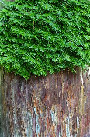 bark of the  stem  and green branches of a dawn redwood tree Reklamní fotografie