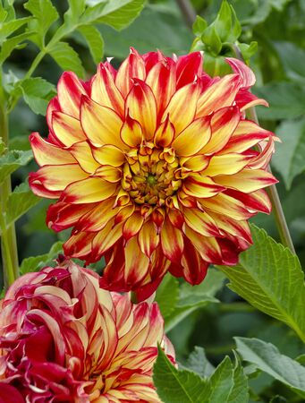 big red and yellow colored beautiful blossom of a dahlia