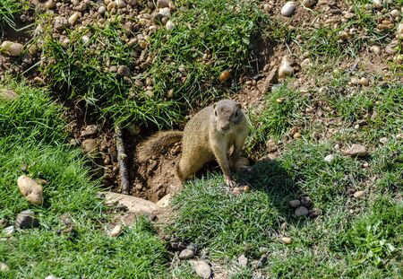 A ground squirrel coming out of a earthwork at a meadow Reklamní fotografie