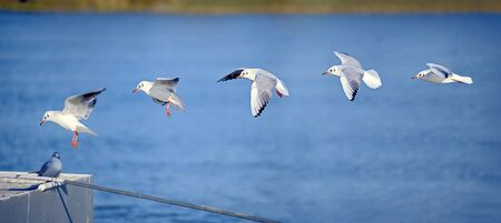 Sequence of five phases of the landing of a seagull on a pontoon before a blue background taken together in one image Archivio Fotografico