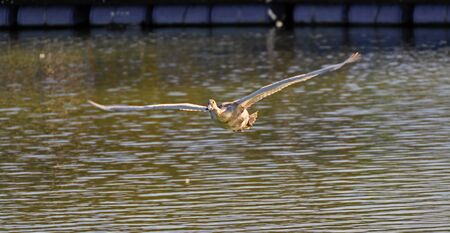 flying young swan straight approaching above the water surface