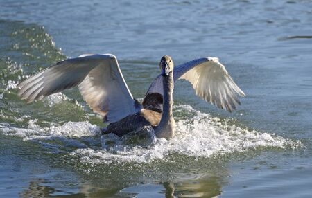 touch down of a young swan on the water surface Stock Photo