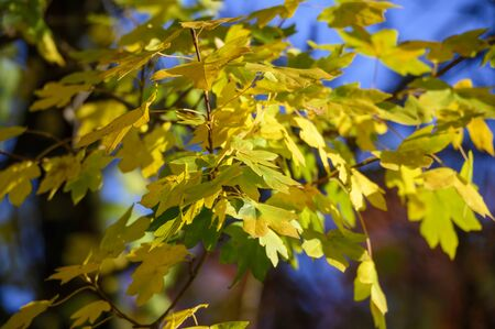 yellow and green colored leafage at sunshine in autumn