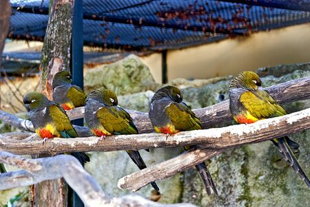 four colorful burrowing parrots sitting on a branch in a aviary