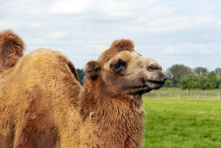 double humped camel on a green meadow in Austria Stock Photo
