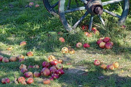 Partly rotten colorful apples falling from a tree lying in green grass before an old wooden wheel Stock Photo