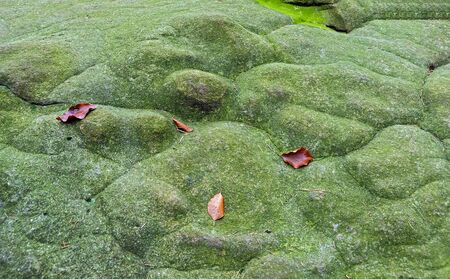 Brown leaves on a smooth shaped green mossy rock