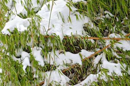 fresh snow on a bamboo with green foliage