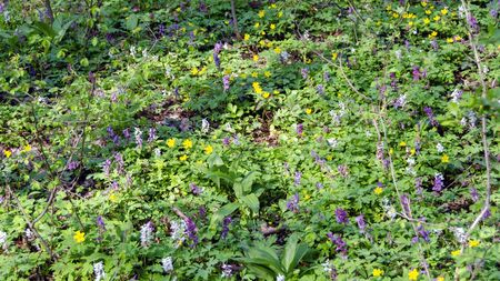 Forest soil overgrown by colorful flourishing plants at spring Stock Photo