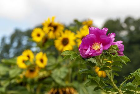 pink blossom of a dog rose with yellow sunflowers in the background