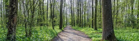 way between trees through forest soil covered by wild garlic in spring