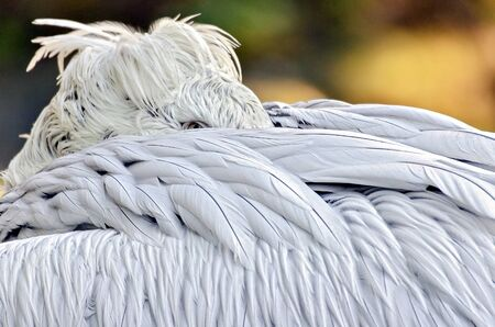 pelican hidding his head between his white feathers looking with one eye Stock Photo