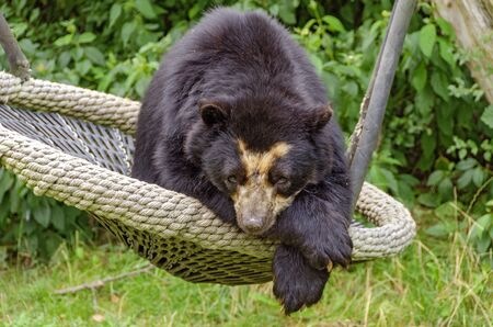 Andean bear resting in a swing with pows lying on top of each other