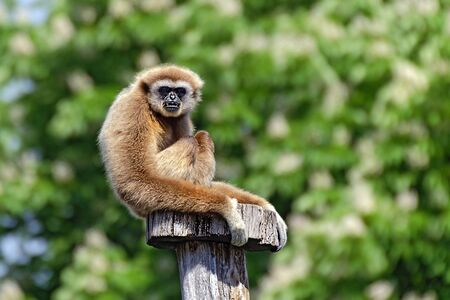 a gibbon sitting on a stake before green background