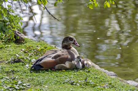 wild duck with chick beside a pond at the Saint James park of London, Great Britain Stock Photo