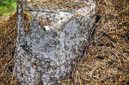 anthillbuild around a tree stub of a birch