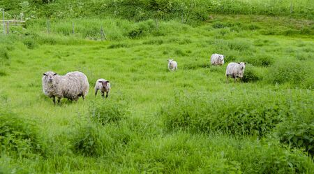 Little flock with ewes and young animals on  a green meadow at Sweden